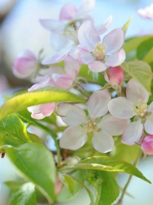 Fleur de pommier - Apple tree flowers - Vanessa Romano - photographe et styliste culinaire (1)