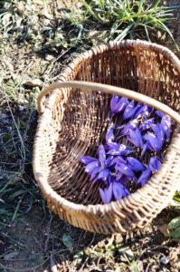 photo reportage sur la récolte du safran en Provence